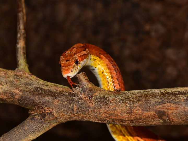 Red snake is looking for dinner at dawn