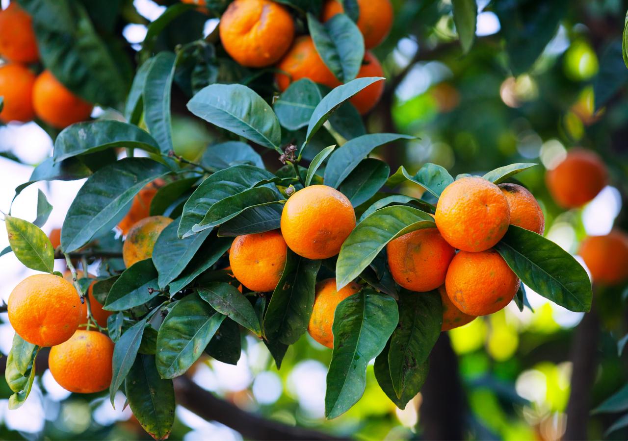 Oranges on the summer seasons