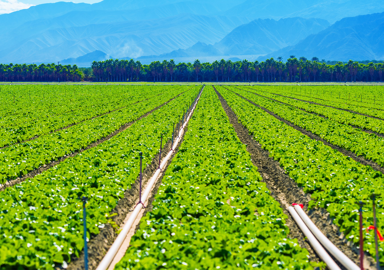 Big agricultural field on the rows