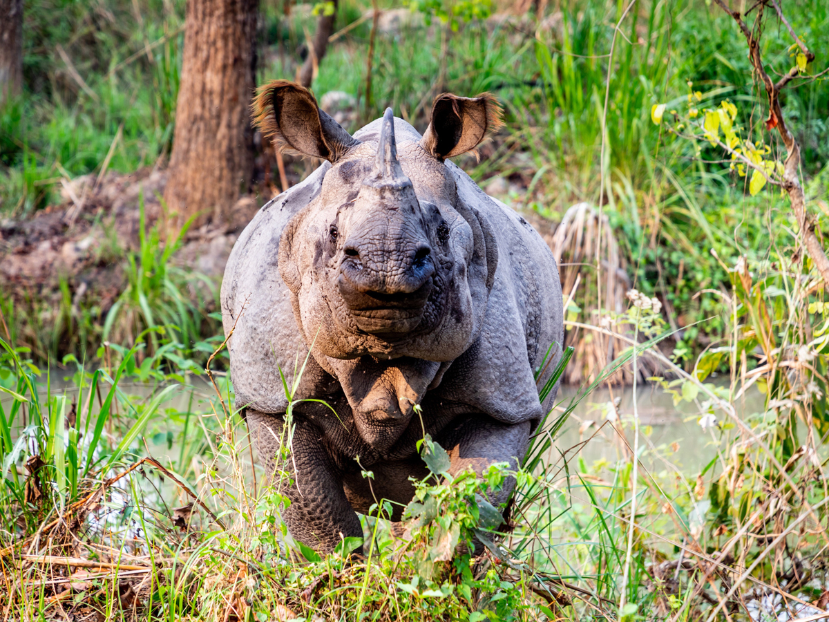 One horn rhino is looking at me